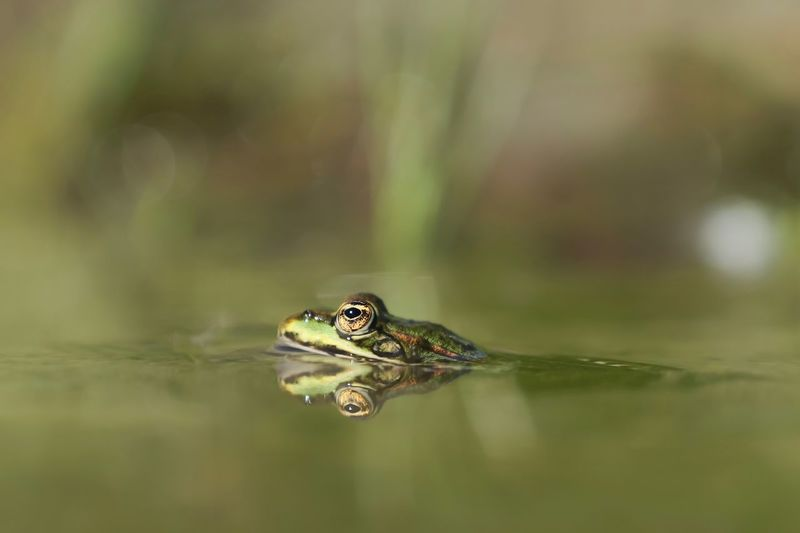 """""""Reflection frog"""" One Animal Animal Themes Animals In The Wild Animal Wildlife No People Water Close-up Day Outdoors Nature Frog Reflection Amphibian Frosch Spiegelung Augen Eye Michael Hruschka Makro Macro_collection Refresh Tiere Macro Wildlife Nature"""
