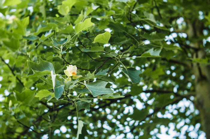 Tulip Poplar Beauty In Nature Blossom Branch Close-up Day Focus On Foreground Food And Drink Freshness Green Color Growth Leaf Leaves Low Angle View Nature No People Outdoors Plant Plant Part Selective Focus Small Sunlight Tranquility Tree