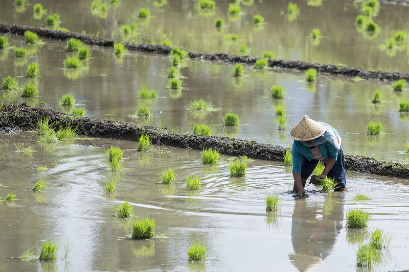 Farmers who are planting rice in the fields INDONESIA EyeEm Selects Working Manual Worker Working Water Farmer Farm Worker Occupation Men Rural Scene Agriculture Business Finance And Industry Plantation Rice Paddy Agricultural Field Cultivated Land Terraced Field Rice - Cereal Plant Farm Organic Farm