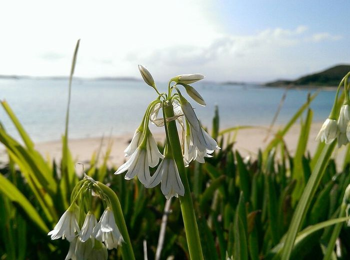 Scilly wild garlic Plant Nature Flower Growth Agriculture Close-up Beauty In Nature Freshness Rural Scene Sky No People Leaf Flower Head Day Healthy Eating Outdoors Isles Of Scilly Scillyisles Flowers Beauty In Nature Kernow The Great Outdoors - 2017 EyeEm Awards EyeEm Selects Landscape