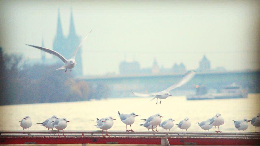 Köln Köln, Germany Cologne Germany Dom Cathedral Rhein River Gulls Vintage Vintage Photo
