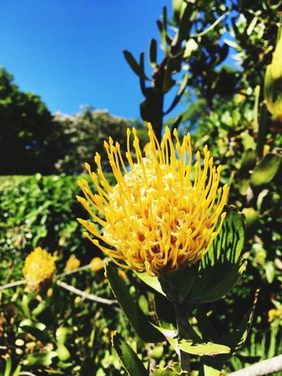 The protea Plant Growth Flower Flowering Plant Beauty In Nature Freshness Fragility EyeEmNewHere