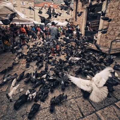 Animal Themes Architecture Bird Birds Building Exterior City City City Life Day Dubrovnik, Croatia High Angle View Hunger Large Group Of Animals Large Group Of People Nikon Outdoors People Pigeons Real People Square Format Square Format Lovers Street Streetphotography White Wide Angle