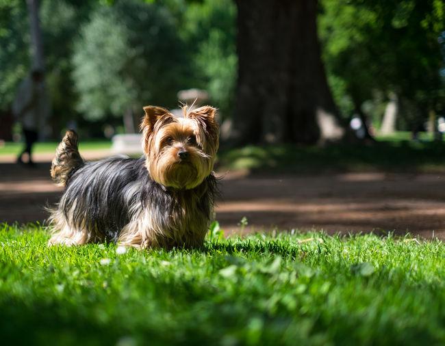 Yorkshire terrier on grassy field