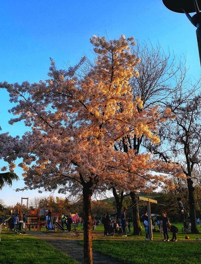 Taking Photos EyeEm Nature Lover Spring Has Arrived Tranquility Tranquil Scene Blue Sky Clear Sky Tree_collection  Tree Sky Grass Blooming Park - Man Made Space Cosmos Flower In Bloom Flower Head Growth Fragility Growing