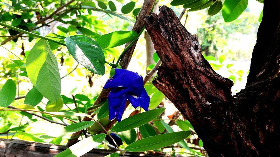 ดอกอันชัญ Tree
