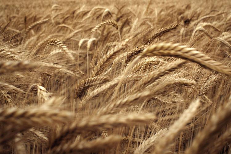 Ripe ears of rye in rye field. wind motion