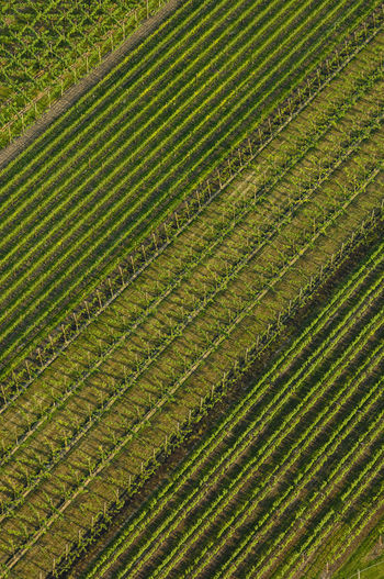 vineyards in Veneto, Italy A Bird's Eye View Aerial View Agriculture Color Palette Cultivated Land Farm Farmland Field Green Color High Angle View Landscape Nature Pattern Plantation Prosecco Rice Paddy Rural Landscape Rural Scene Rural Scenes Veneto Italy Vineyard Beautifully Organized Flying High