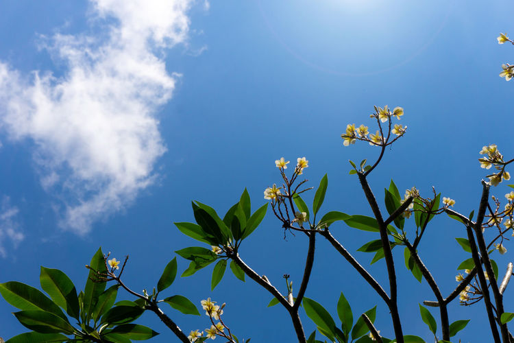 Plumeria flowers and blue sky background is a genus of flowering plants in the dogbane family, Apocynaceae. Most species are deciduous shrubs or small trees. Flower Frangipani Petal Nature Spa Design Blossom Yellow Background White Plumeria Floral Tropical Summer Beautiful Leaf Decoration Bloom Spring Beauty Natural Exotic Plant Relax Tropic Green Bali Bright Flora Fresh Hawaiian Card Hawaii Colorful Pretty Relaxation Blooming Art Graphic Element Aloha Zen Leaves Subtropical Romantic Romance Therapy Beach Aroma Garden