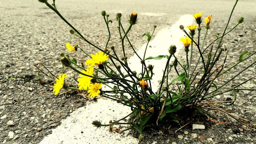 Flower Nature Growth Outdoors Plant No People Day Yellow Beauty In Nature Fragility Flower Head Freshness Close-up Autumn Asphalt White Paint Marking Paint The Town Yellow The Week On EyeEm