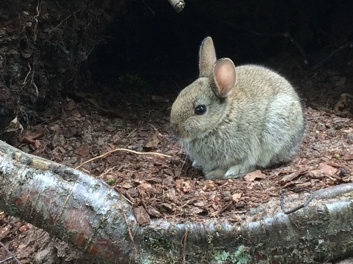Adorable lil wild bun Scotland Tentsmuirforest Forest Wildlife Nature_collection Animals Bunny  Cute Adorable Small
