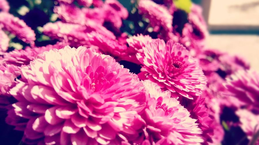 Freshness Flower Beauty In Nature Flower Head Growth Nature Pink Pink Color Vibrant Color Plant Macro Season  Nature Love