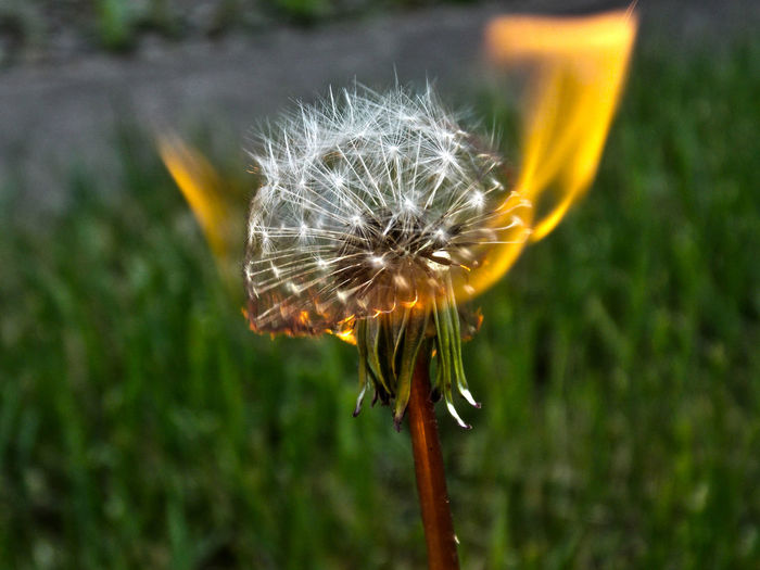 Burning Suspicion Nature Flower Fragility Outdoors No People Close-up Beauty In Nature Plant Grass Flower Head Day Dandelion Seed