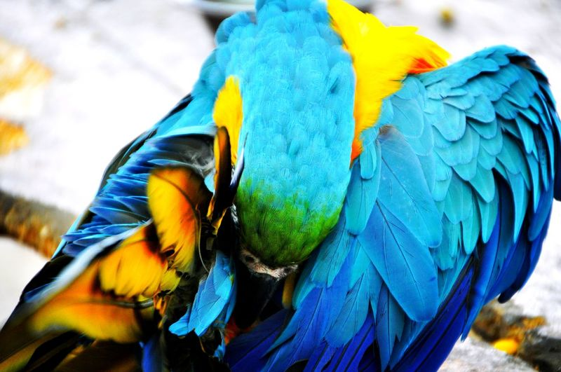 Parrot Colors Animal Wildlife Africa Animal Wildlife Wildlife & Nature Nature Animals In The Wild Macaw Bird Gold And Blue Macaw Parrot Multi Colored Peacock Blue Feather  Vibrant Color Close-up Wild Animal Tropical Bird