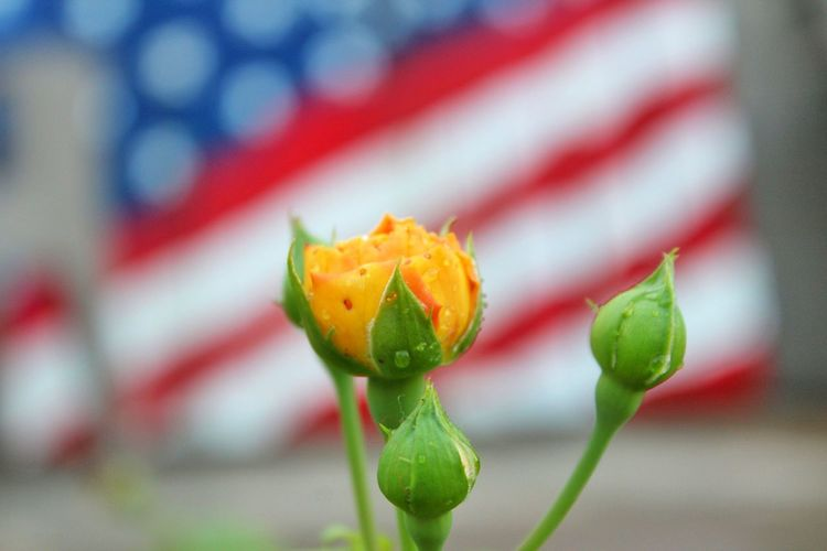 Close-up Plant No People Nature Focus On Foreground Freshness Flower Day Outdoors Beauty In Nature Fragility Canonphotography Camera Life Is My Life! My Hobby 😁 American Flag🇺🇸 Yellow Rose Of Texas Yard Art Yellow Rose Bud EyeEmNewHere EyeEm Nature Lover Eyeemphotography