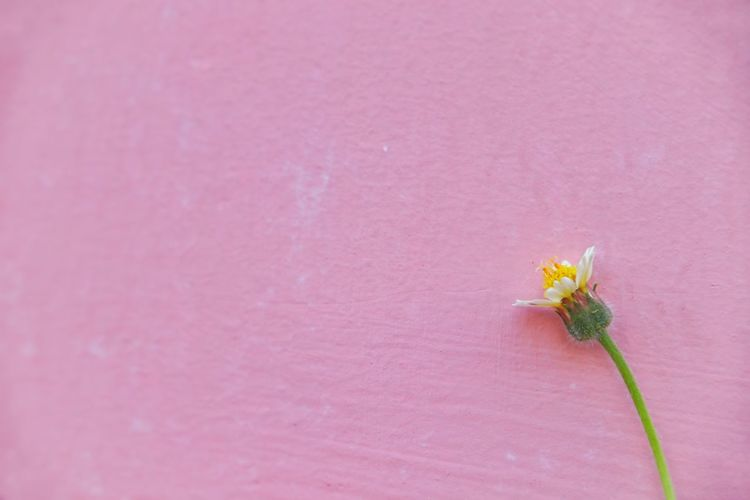 Close-up of pink flower against wall