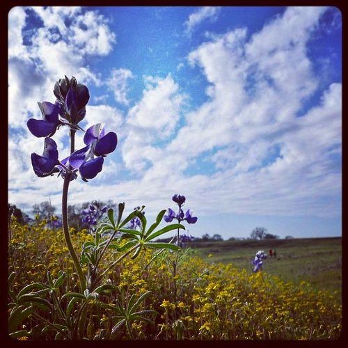 Wildflowers on Tablemountain Oroville . Landscape Vista Macro Northernca