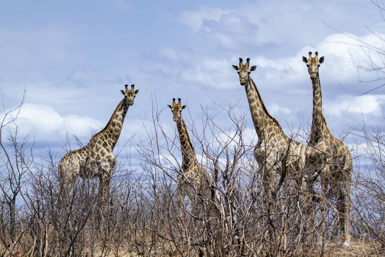 Giraffes on field with bare trees in foreground