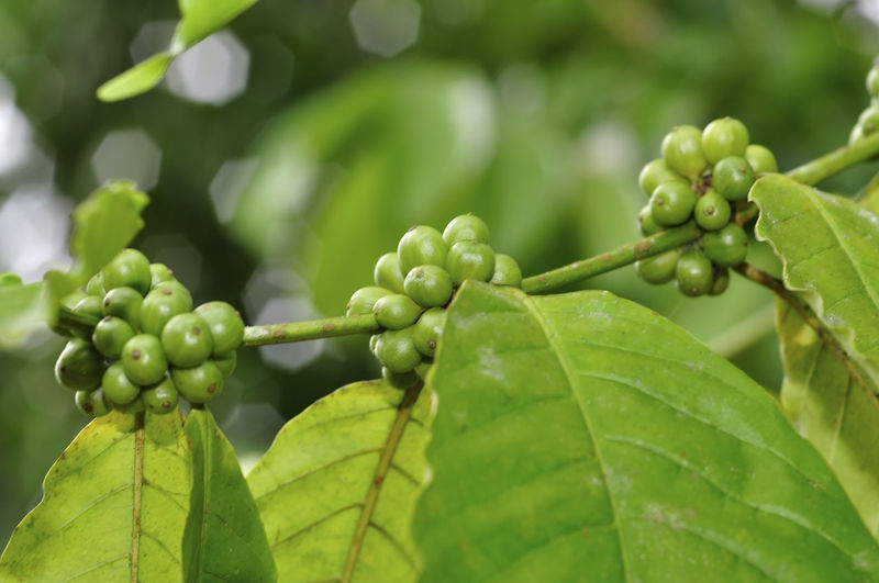 fresh coffee beans Green Color Growth Plant Part Leaf Plant Close-up Nature Freshness No People Day Beauty In Nature Focus On Foreground Food And Drink Tree Food Selective Focus Outdoors Agriculture Healthy Eating Fruit Leaves