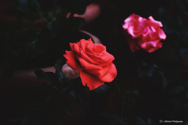Plants Garden Photography Clicked On Nikon D3300 Rose Petals Flowering Plant Plant Life In Bloom Blooming