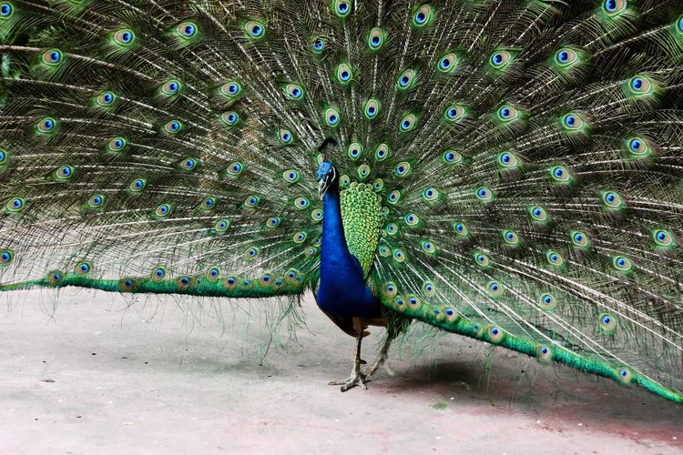 A peacock spreading its tail-feathers