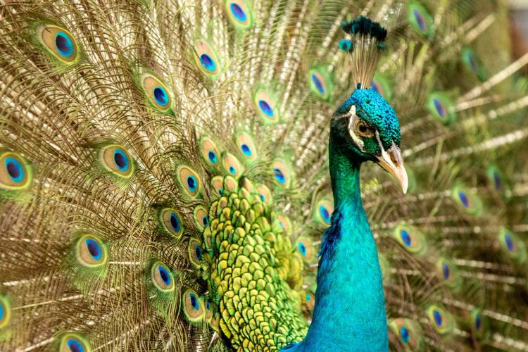 Peacock in the