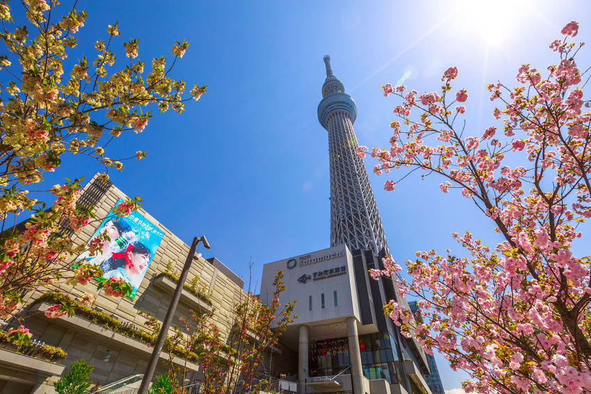 Tokyo Skytree with cherry blossoms in full bloom in Sumida District, Tokyo, Japan. Tokyo Skytree is the tallest tower in the world, broadcasting and observation tower. Asakusa,tokyo,japan Cherry Cherry Blossom Cityscape Hanami Sakura  Japan Japanese  Observatory SkyTree Tower Skyline Skytree Tokyo Tokyo Tokyo,Japan Top Tree Aerial View Architecture Asakusa Autumn Branch Building Building Exterior Built Structure Change Cherry Blossom Day Flower Flowering Plant Growth Hanami Low Angle View Nature No People Office Building Exterior Outdoors People Place Of Worship Plant Religion Sky Skyscraper Skytree Springtime Sumida Tower Tree