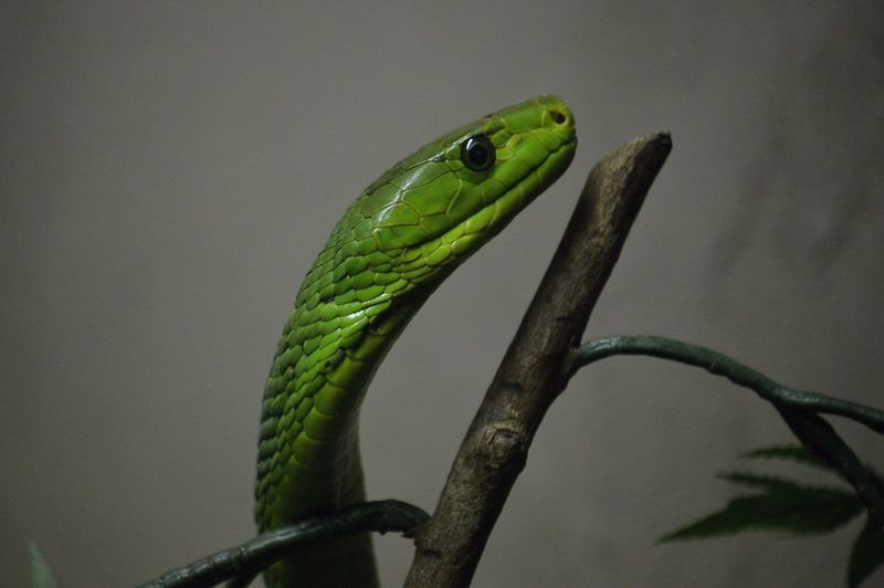 Close-up of east african green mamba on branch at zoo