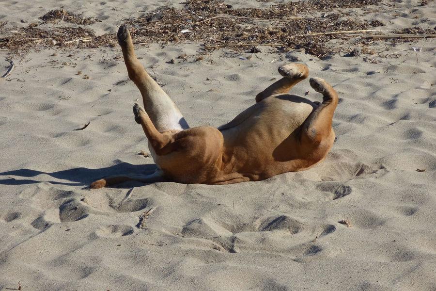 Animal Animal Themes Animal Wildlife Beach Brown Bullmastiff Canine Day Dog High Angle View Land Lying Down Mammal Nature No People One Animal Relaxation Resting Sand Sunlight Vertebrate