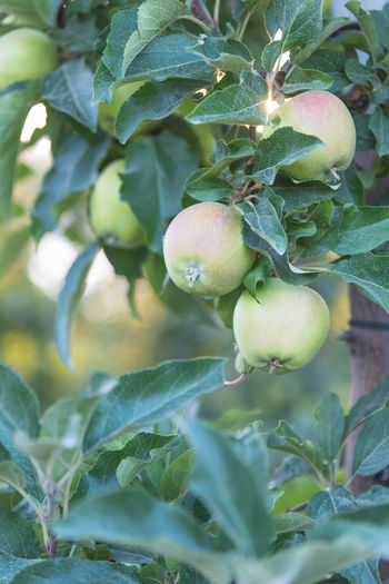 Ripening green apples on tree in orchard at sunset British Columbia, Canada Green Apples  July Naramata Naramata Bench Okanagan Valley Apple Tree Beauty In Nature Branch Close-up Evening Food Fruit Golden Hour Golden Light Nature Okanagan Orchard Outdoors Ripening Fruit South Okanagan Summer Sunset Tree Unripe