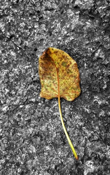 Mobilephoto Indianphotographer Natureporn Macro Magazine Photosfromindia EyeEm Selects Indiapictures India EyeEm Vision Worldwide_shot Yellow Close-up Nature Leaf Beauty In Nature Mobile Photography Parched Dried Leaf Rough Texture Textures Lenovovibeshot