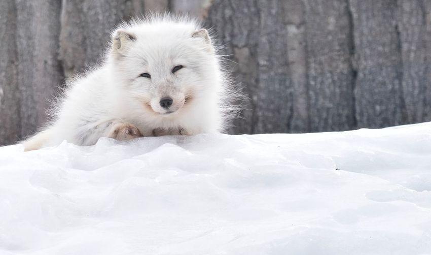 fox animal snow