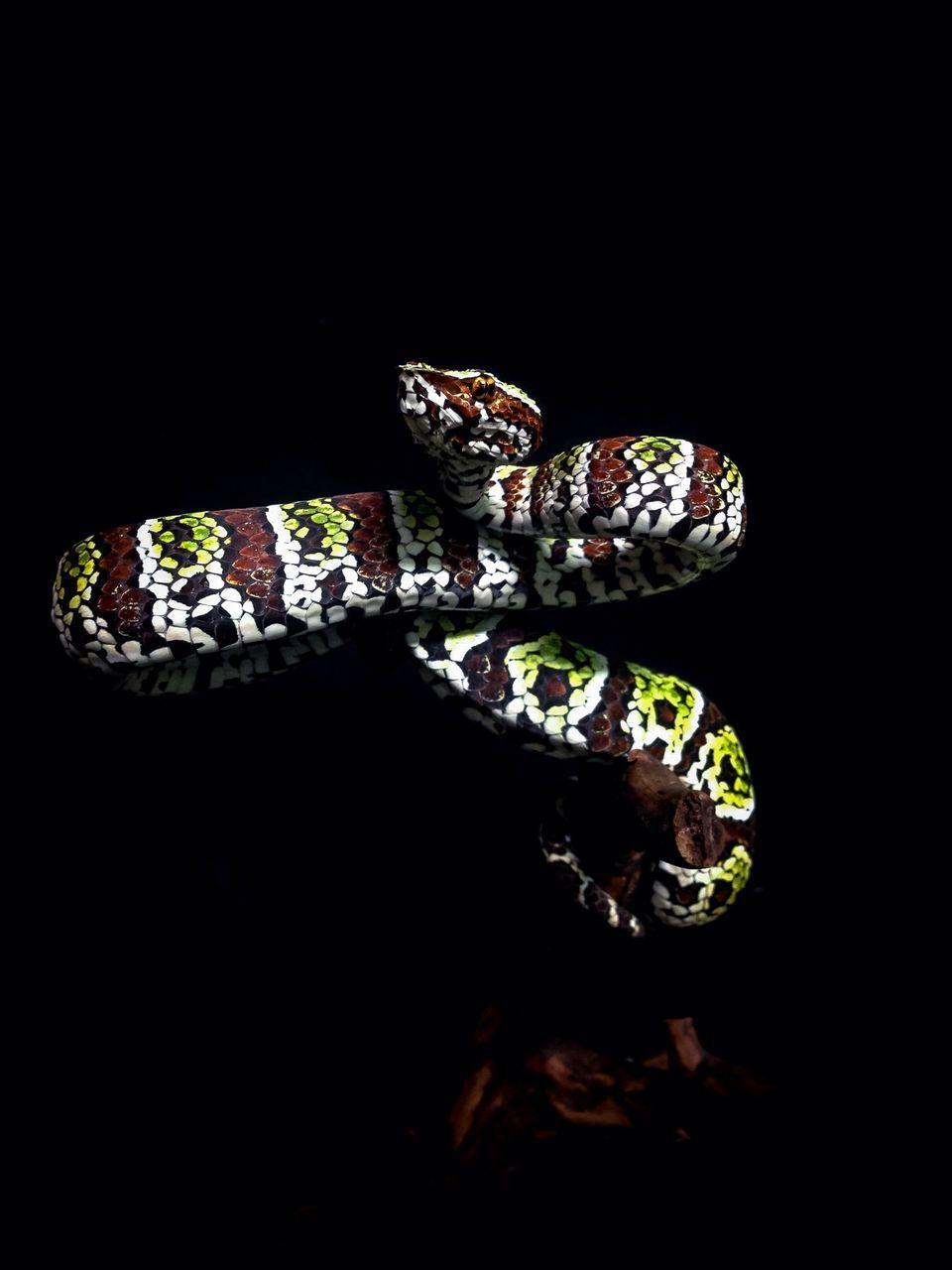 studio shot, black background, indoors, no people, close-up, animal, animal themes, reptile, vertebrate, one animal, copy space, animal wildlife, cut out, reflection, freshness, snake, nature, food, wellbeing, mouth open