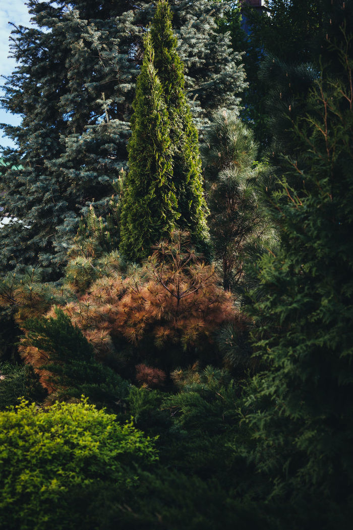 LOW ANGLE VIEW OF PINE TREES