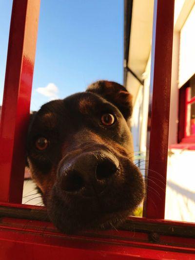 Hallo Neugierig Hund Pets One Animal Dog Domestic Animals Animal Themes Mammal Window Indoors  No People Day Looking At Camera Portrait Sky Red