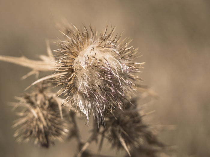 Disteln Nature Withered Flower Beauty In Nature Close-up Dry Dryness Faded Flower Flower Head Focus On Foreground Natur Nature No People Outdoors Plant Prickle Selective Focus Spiky Thistle Thistleheads Verblüht Wilted Wilted Plant Withered