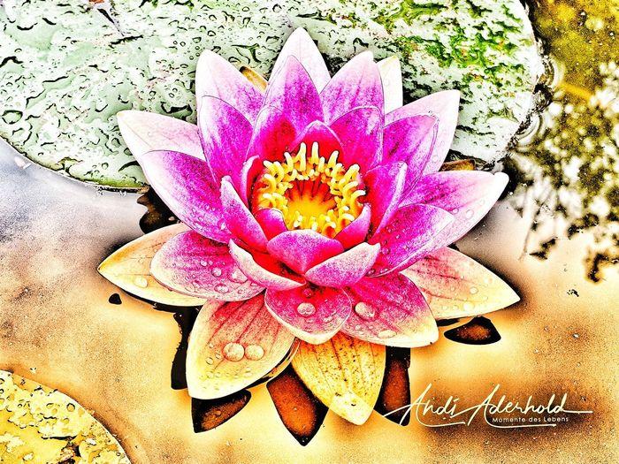 Searose Flower