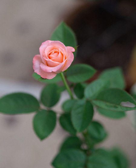 Nature in the home Beauty In Nature Close-up Flower Flower Head Flowering Plant Focus On Foreground Fragility Freshness Growth Inflorescence Leaf Nature Nature In The Home No People Outdoors Petal Pink Color Plant Plant Part Rosé Rose - Flower Vulnerability