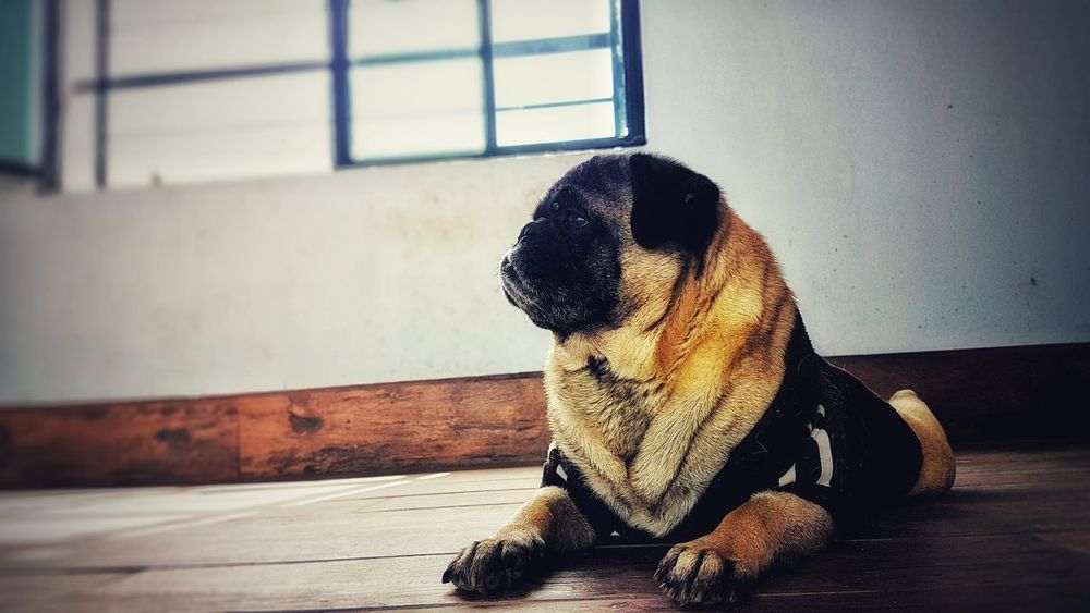 Pug Life  Pugs Puglover Puglovers Dog Indoors  Pets Window Only Men One Person Sitting Day One Animal People Adults Only Animal Themes One Man Only Young Adult