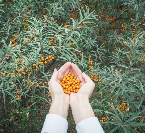 Human Body Part Food Healthy Eating Outdoors Lifestyles Nature Healthy Lifestyle Human Hand Walking Autumn Plant Autumn Colors Russia Folklife Travelling Photography Sea Buckthorn