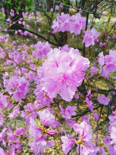 Spring in Seoul South Korea Ewha Womans University Flowers