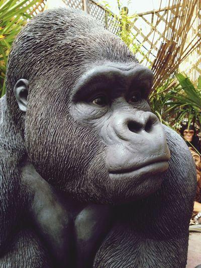 Gorilla in