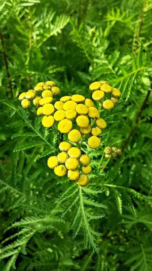 Flowerloversunited Nature_collection Yardpic Flowers In My Garden Flowers,Plants & Garden Plantography Flowerpower Lemon Herbs