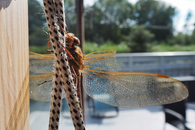 May I come in? EyeEm Selects Focus On Foreground Close-up Day Insect Animals In The Wild Animal Wildlife One Animal Invertebrate Animal Animal Themes Rope No People Nature Outdoors Animal Wing Animal Body Part Pattern Dragonfly Metal Tied Up