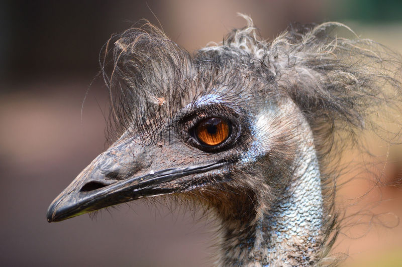 Close-up of emu