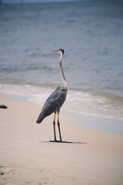 Alabama Heron EyeEm Selects Bird Beach Land Animals In The Wild Animal Themes Animal Vertebrate Animal Wildlife Sea Water Sand One Animal No People Nature Beauty In Nature Day Perching Full Length