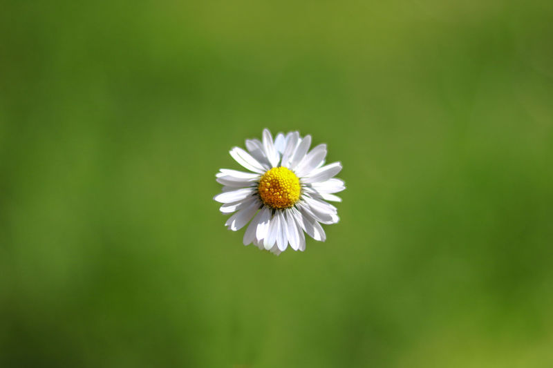 Daisy Natural Light Nature Beauty In Nature Close-up Daisy Flower Flower Head Flowering Plant Fragility Freshness Green Background Growth Inflorescence Minimal Nature Minimalism Nature No People Outdoors Petal Plant Pollen Vulnerability  White Color Yellow