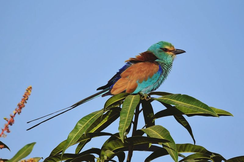 Abyssinian roller Abyssinian Roller Animal Wildlife Animals In The Wild Bird One Animal Perching Blue Tree Animal Themes Nature Green Color Leaf No People Beauty In Nature Branch Low Angle View Day Full Length Outdoors Multi Colored Sky