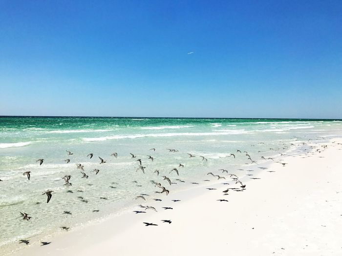Flock of birds on beach against clear blue sky