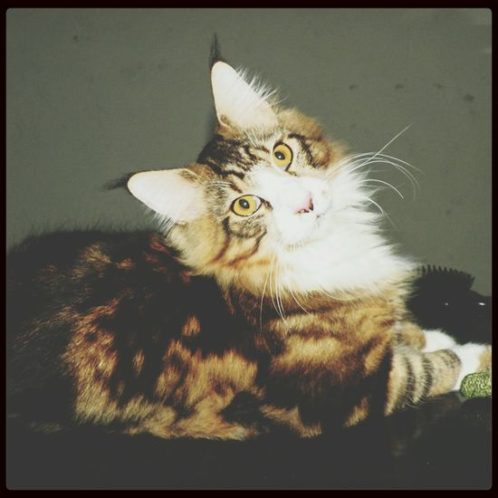 Cats Mainecoon Cat Lovers Cat